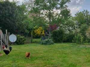 les poules en liberté